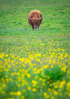 Grazing Highland Cow