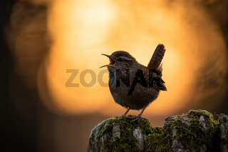 Eurasian wren calling in spring nature at sunset.