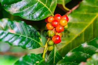 Closeup of arabica coffee fruits.