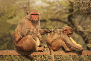 Rhesus Macaque grooming young macaque, New Delhi