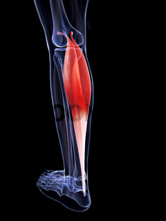 3d rendered illustration of the gastrocnemius muscle