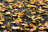 Autumn yellow dry maple-leaves on grass