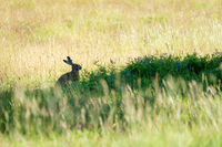 Hare eating in the shadow of a tree in a meadow