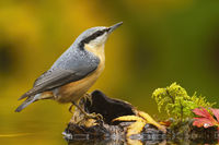 Little eurasian nuthatch sitting on wood in pond in autumn.