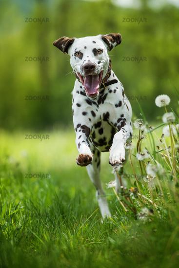 Running dalmatian dog in a meadow