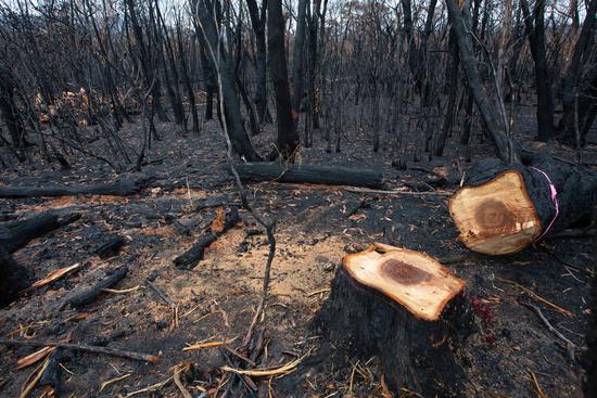 A dangerous tree felled after bush fires in Australia