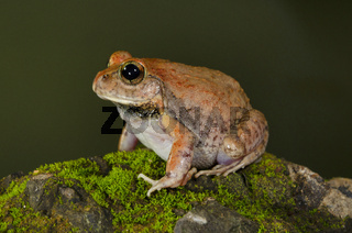 Burrowing Frog, Vasai, Maharashtra, India