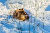 Fluffy redhead fox resting in the snow