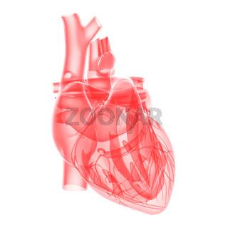 medical illustration - transparent human heart