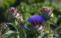 Blüte und Früchte einer Artischockenpflanze