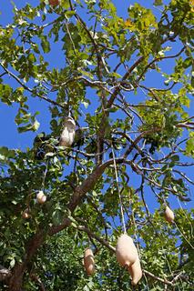 Leberwurstbaum im South Luangwa Nationalpark, Sambia; saugage tree in South Luangwa National Park, Zambia