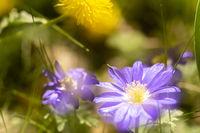 Balkan-Windröschen und Löwenzahn, Balkan anemone and common dandelion