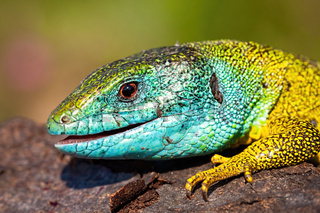 Detail of head and leg of a European green lizard, lacerta viridis.