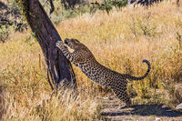 African leopard sharpens claws