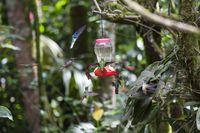 Kolibris (Trochilidae) in der Luft schwebend