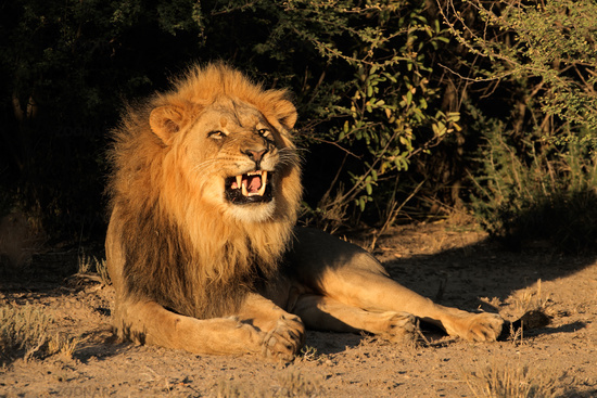 Male African lion snarling