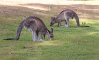 Kangaroos eating grass in late afternoon