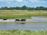 Wasserbüffel (Bubalus arnee) in Schleswig-Holstein, Deutschland