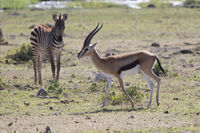 Thompsons gazelle male walking across the dry savannah