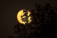 Gelber Mond hinter einem Gebüsch