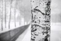 Die Birke neben der Strasse