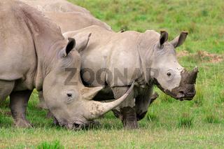 White rhinoceros feeding