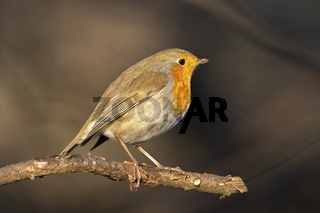 European robin, Erithacus rubecula, or robin redbreast, perched on a branch