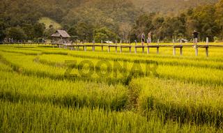 Bamboo bridge and rice paddies, Pai, Thailand