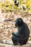 Celebes crested macaque, Sulawesi, Indonesia wildlife