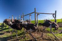 Farm Ostriches Birds