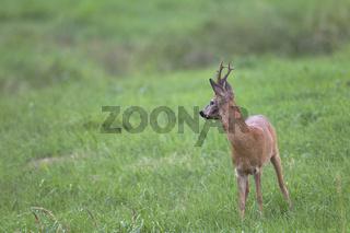 Rehbock in der Blattzeit beobachtet aufmerksam einen anderen Bock