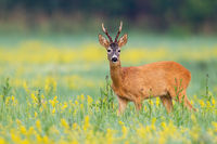 Alert roe deer facing camera on a flower covered lawn in wilderness
