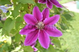 Clematis Blume