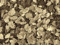 a full frame sepia toned background image of brown and black fallen oak leaves on a forest floor in winter