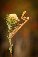 European mantis standing on a wildflower with joined front legs in summer