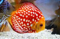 Diskusfische im Aquarium, Diskusfische gehören zu den Buntbarschen