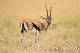 Thomson's Gazelle in the wilderness