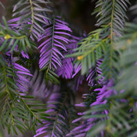 Purple colored needles on a tree close up