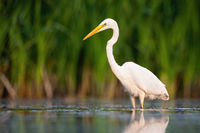 Alert great egret standing water with green blurred background in summer nature