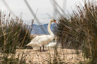 Whooper swan in natural habitat. Swans are birds of the family Anatidae within the genus Cygnus
