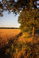 Bäume am Feld