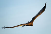 Majestic golden eagle flying in the blue sky in natural habitat.
