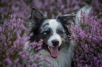 Border collie dog in heather landscape