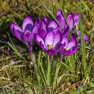 Violette Blüten des Frühlings-Krokus