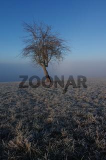 Apfelbaumsolist über dem Nebel auf frostiger Wiese