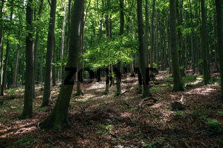 Sunbeams in the deep beech forest. Hiking, travel and lumber industries concept.