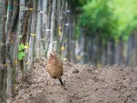 Pheasant hen in a vineyard