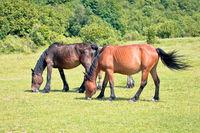 Wild horses in nature of Velebit mountain view,