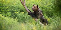 Magnificent brown bear climbing on tree in summer.