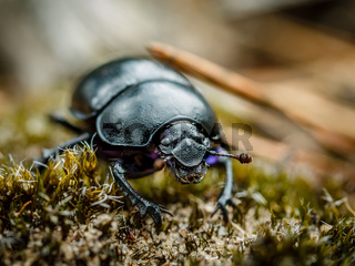 Forest beetle macro